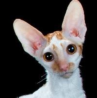 Cat Breeds A-Z: #3 C