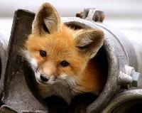 Trinket's Fox ATC swap