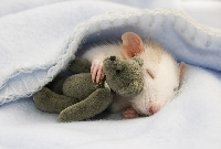 Rats and Teddy Bears ATC