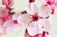Cherry Blossom ATC