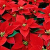 Christmas Card as poscard #33 - Christmas plant (n