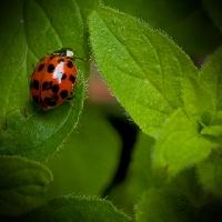 Trinkets Captured Ladybirds