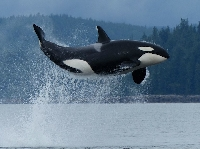 APDG - June: Orca Awareness Month