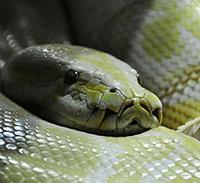 Snake ATC (USA)