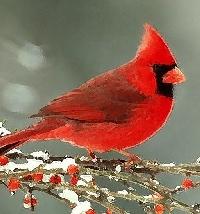 Winter Cardinal - Sender's Choice/International