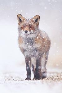 AACG:  Woodland Critters: Fox ATC