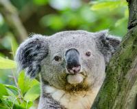 APDG ~ Koala month
