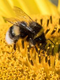 Fluffy Bumblers - Bee ATC Swap International