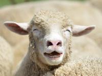 Sheep ATC - Hand drawn and International
