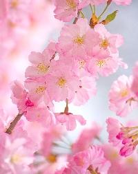 TPS: Cherry Blossom Festival