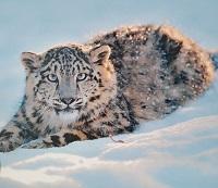 Wild Cat Postcard Swap
