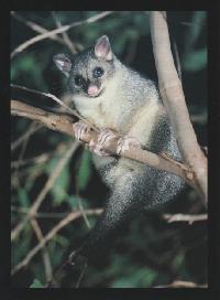 Marsupial PC Swap