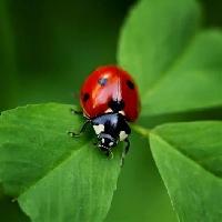 Pretty ladybug. Postcard.