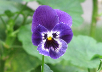 The Language of Flowers Series Swap - Violet