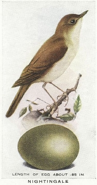 MFF: Bird-of-the-Month Tag: May: Nightingale