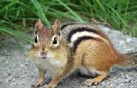 CS Animal Series - Chipmunk