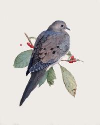MFF:  Bird-of-the-Month: June:  Dove