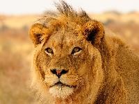 AN: World Lion Day PC (US)