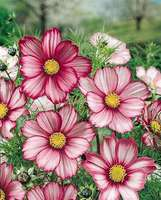 Flower seeds for your balcony