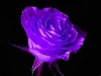 ~Inchie Me A Color Series: Purple!~